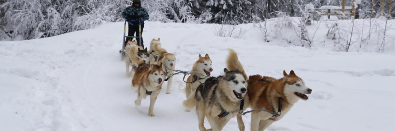 катання на собачих упряжках буковель