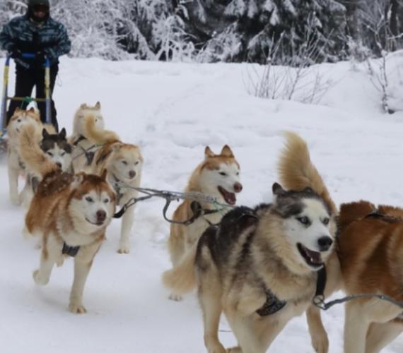Прогулки на собачьих упряжках